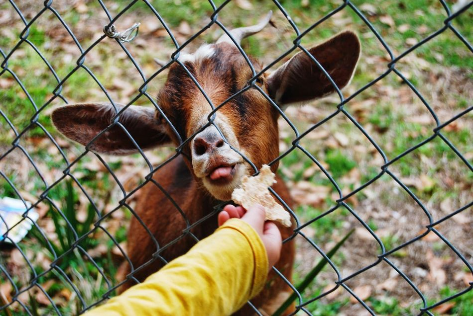 Beautiful stock photos of goat, Animal Themes, Chain Link Fence, Day, Domestic Animals