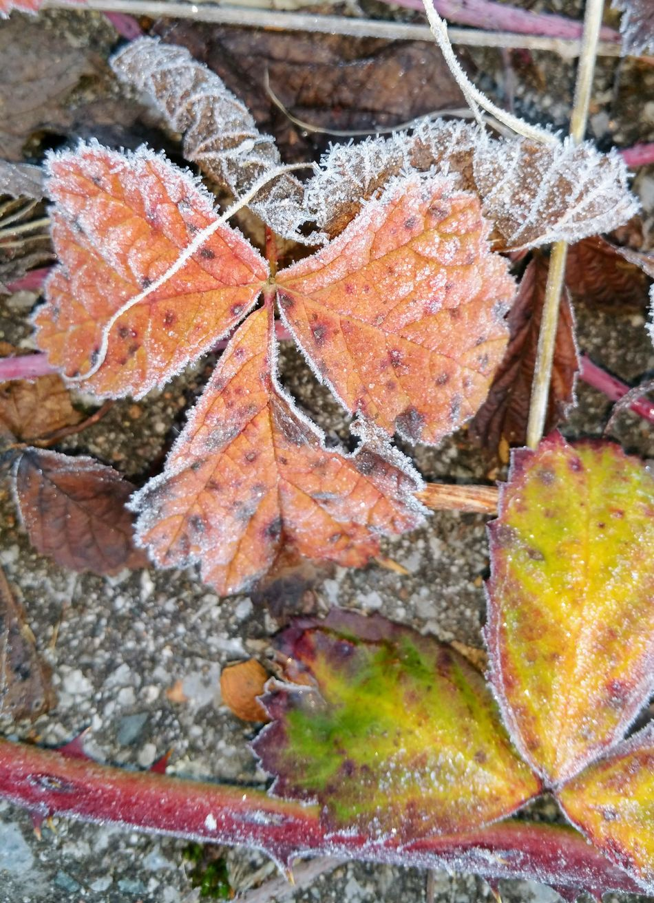 Leaf Nature Autumn Change Close-up Outdoors Day No People Fragility Beauty In Nature EyeEm Nature Lover I Like This Shot VariousColors Focus On Foreground I LIKE👍EyeEm😃👍 I Like It My Point Of View Winter Beauty In Nature Cold Temperature