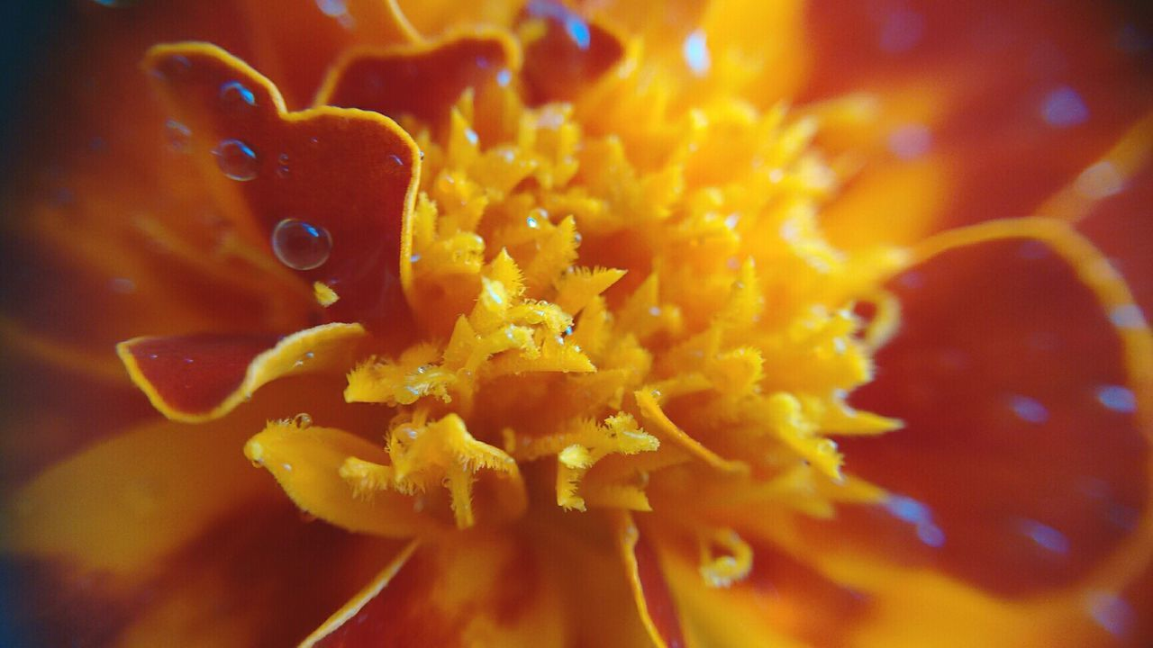 Flower Nature Fragility Beauty In Nature Close-up Orange Color Petal Flower Head Freshness Backgrounds No People Outdoors Day Beauty In Nature Nature Flowes Flower Collection Colletion My Year My View Jardimdecasa MeuJardim
