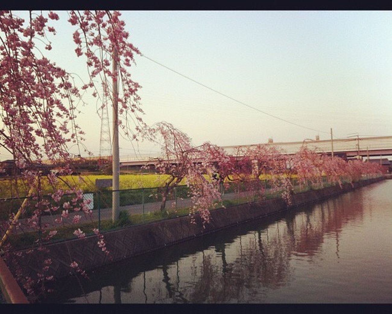 Nature 桜 Japan Cherry Blossoms 菜の花