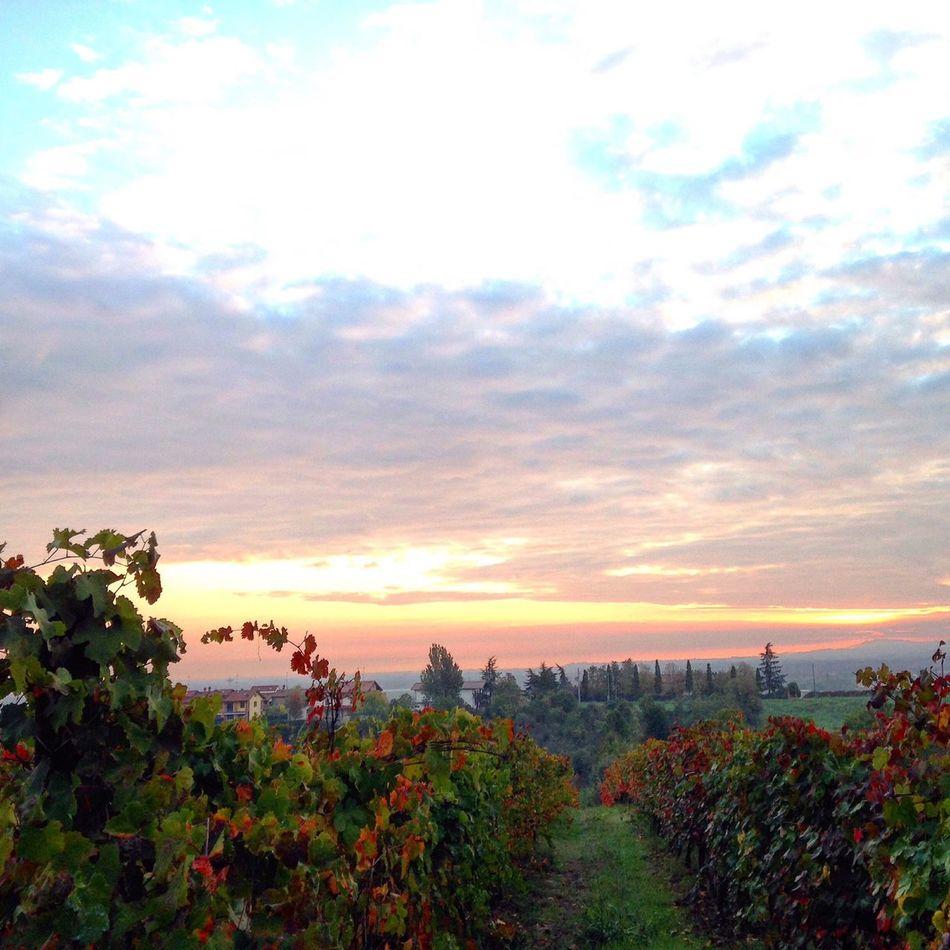 Colori meravigliosi nelle vigne! Vigna Uva Vino Campagna Vendemmia Landscape Sky Sky And Clouds Cloud Mattina Colors Paesaggio
