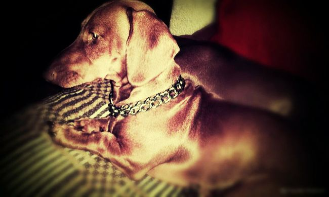 Dogs Perro Salchicha