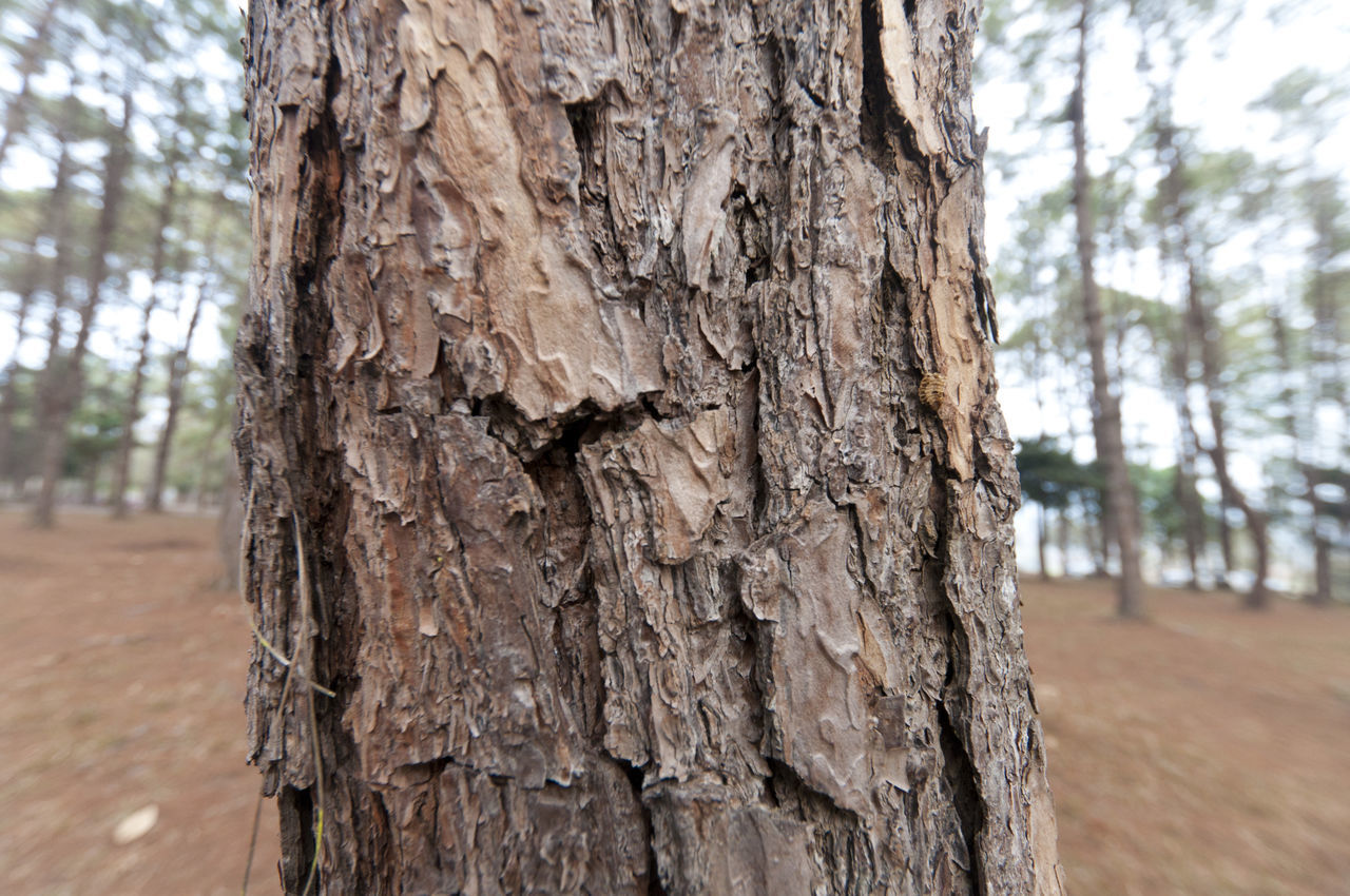 tree trunk, tree, wood - material, nature, focus on foreground, textured, day, close-up, no people, outdoors