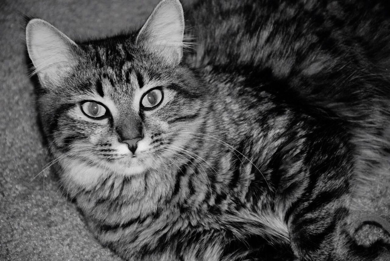 Miss Cho-Cho Cat Domestic Cat Domestic Animals Pets Mammal Animal Themes Whisker One Animal Feline Close-up No People Indoors  Black And White Nikon Kitten Kitty Happy Laying Down Content Tabby Striped