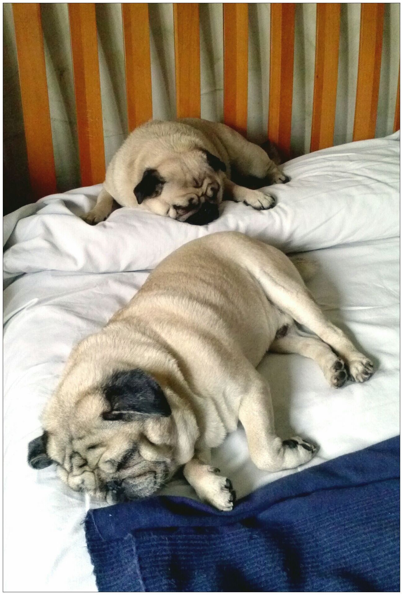 The pug-sound of silence Torino, Italy Carlino Pug Life  Pug Love Mummy Love  Turin Italy Lovepugs Carlino Pug Carlino Cane Dog Sleeping Sleep Sleeping Dog Sleep Time Dormire Nanna