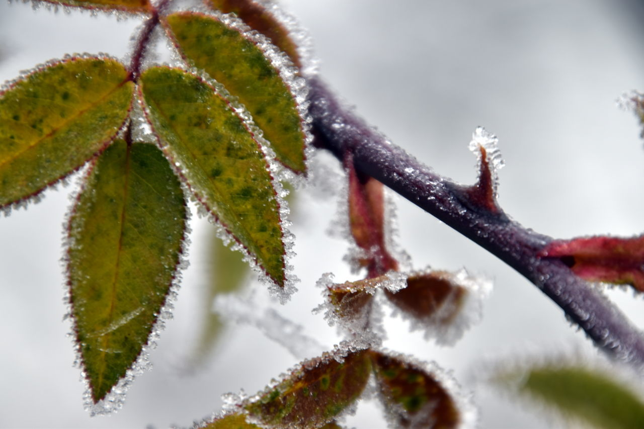 Beauty In Nature Close-up Cold Temperature Frosted Frosty Hi Ice Ice Crystals Iced Ladyphotographerofthemonth Nature Nature On Your Doorstep Nature Photography Nature_collection Nature_perfection No People Outdoors Plant Popular Photos Taking Photos Autumn Colors Fall Colors Thorn Rosehip Leaves