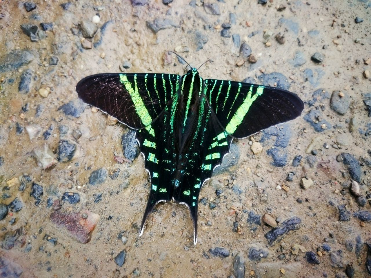 insect, animals in the wild, animal themes, one animal, butterfly - insect, animal wing, animal wildlife, high angle view, butterfly, no people, day, close-up, outdoors, nature, spread wings, animal markings, beauty in nature