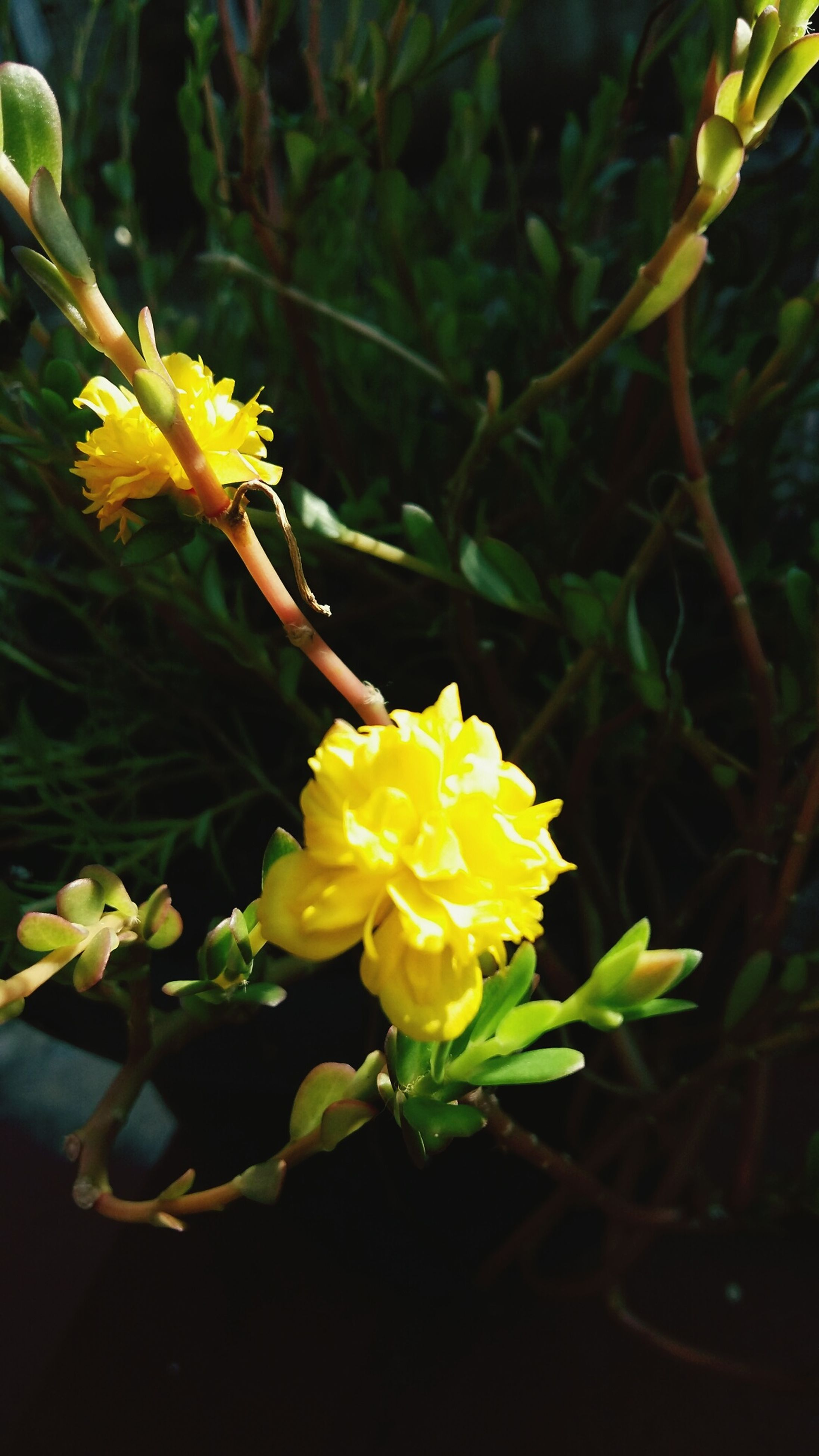 flower, petal, yellow, freshness, fragility, flower head, growth, beauty in nature, close-up, plant, blooming, nature, focus on foreground, stem, in bloom, leaf, blossom, botany, bud, no people