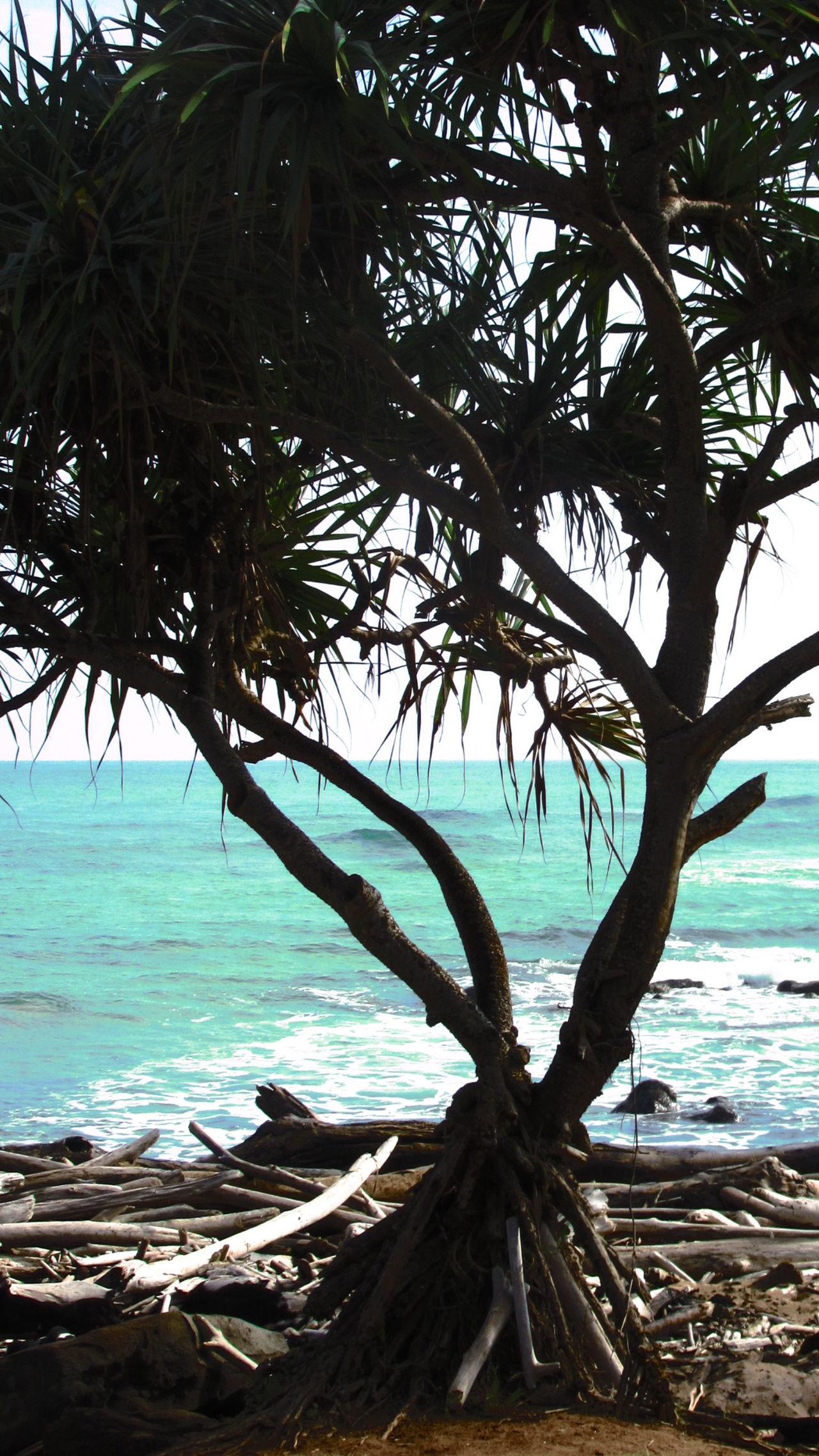 Sea Water Tree Nature Outdoors Branch Beauty In Nature Breadfruit Tree Kauai Hawaii Single Tree No People