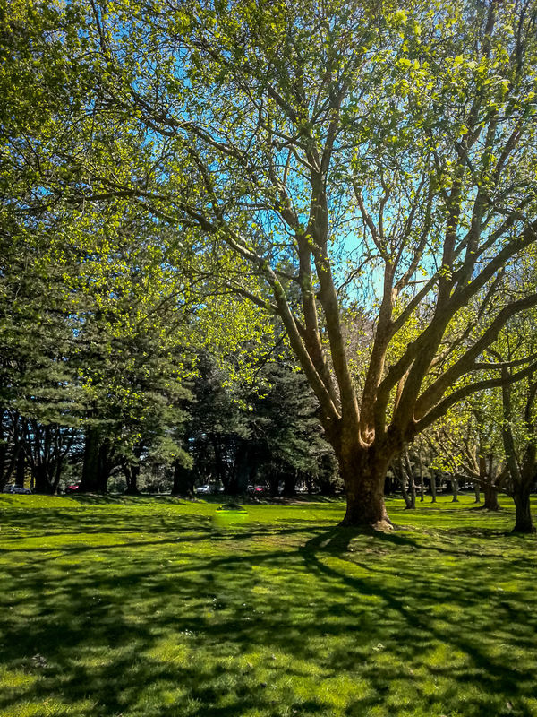 Cornwall Park. Auckland, New Zealand. Auckland Beauty In Nature Branch Cornwallpark Day Field Grass Grassy Green Growth Idyllic Landscape Lawn Lush Foliage Nature Newzealand Outdoors Park Scenics Sky Sunlight Tranquil Scene Tranquility Tree Tree Trunk