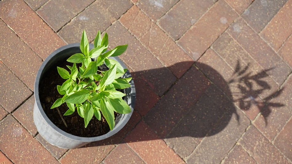 Close-up Day Herb Homegrown Leaf Nature No People Ocimum Basilicum Outdoors Pot Shadow Thai Basil