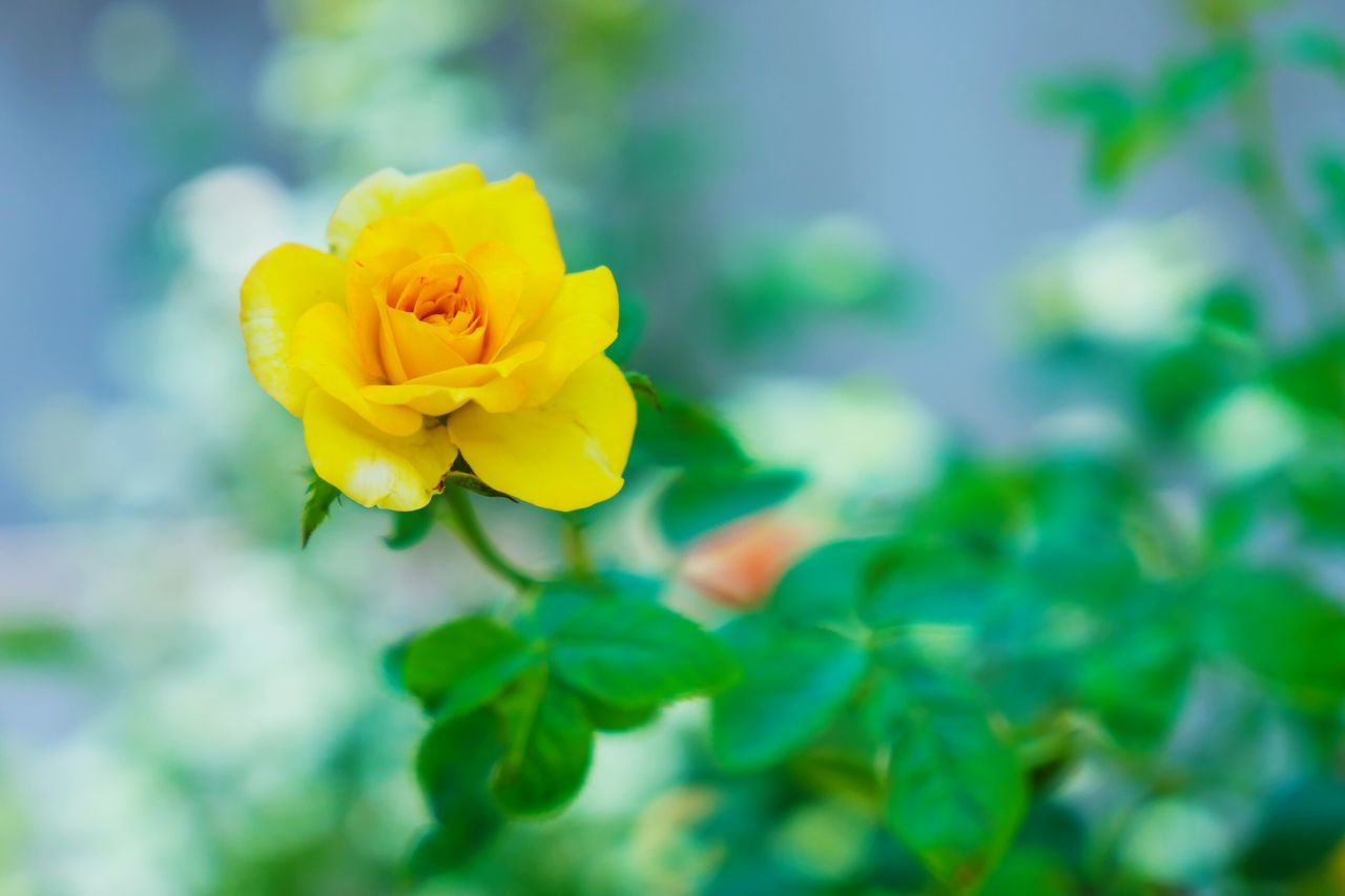 flower, yellow, petal, fragility, beauty in nature, nature, plant, freshness, flower head, growth, no people, leaf, outdoors, day, close-up, blooming