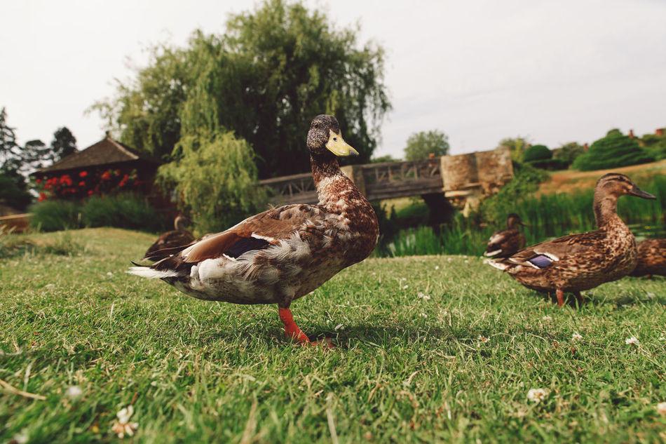 Beautiful stock photos of enten,  Animal Wildlife,  Animals In The Wild,  Bird,  Brown