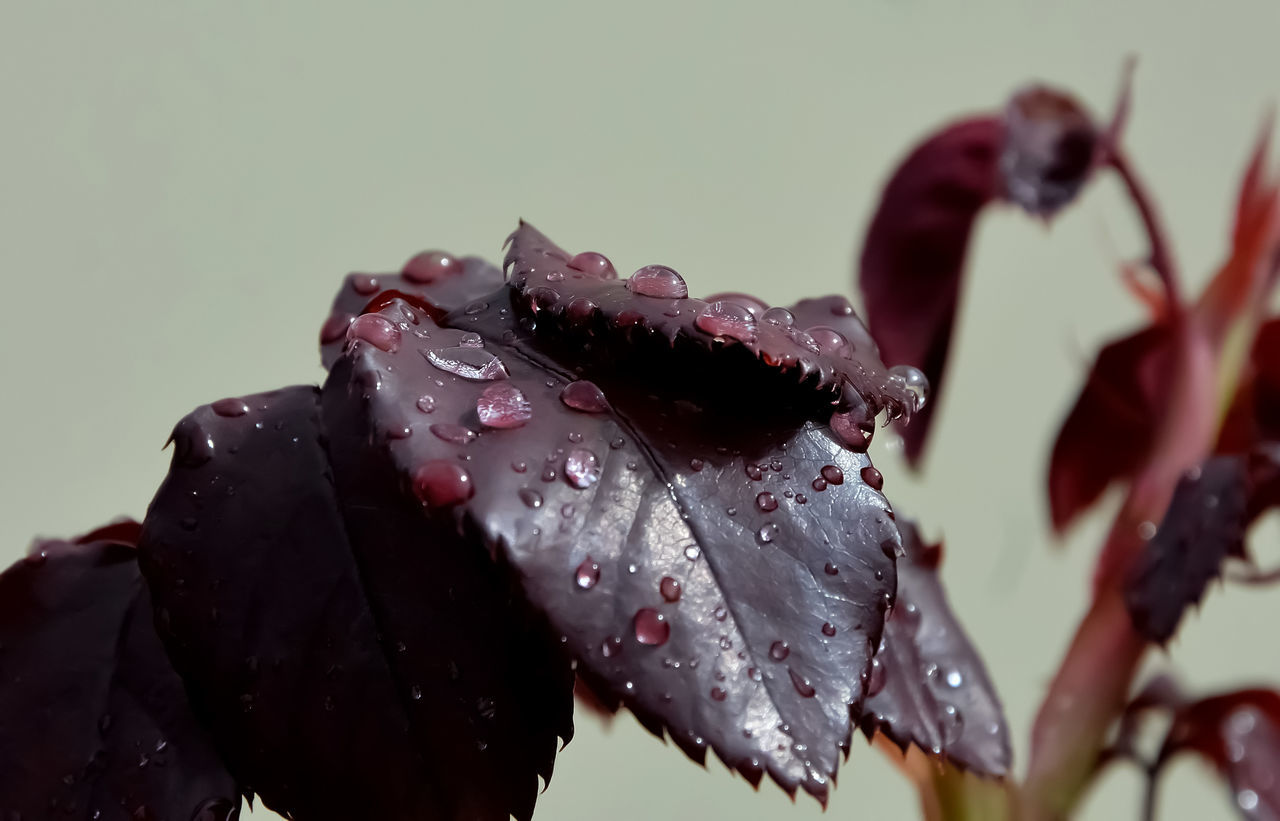 Beauty In Nature Close-up Day Drop Fragility Freshness Nature Outdoors Rain Drops On Leaves Rose Leaf Water Wet