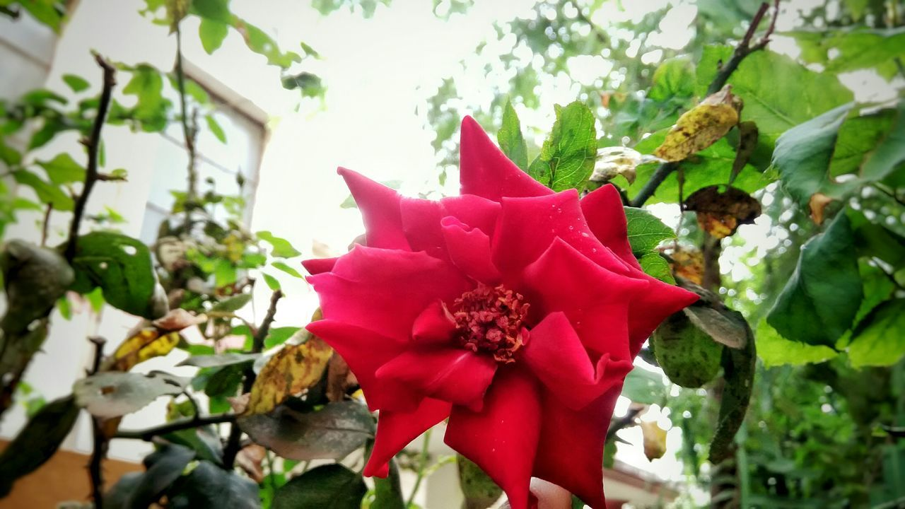 Red Rose Nature Red Rose🌹 Red Rose Flower Flowers,Plants & Garden Learn & Shoot: Layering NatureNature Photography EyeEm Nature Lover