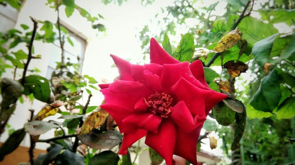 Red Rose Nature Red Rose🌹 Red Rose Flower Flowers,Plants & Garden Learn & Shoot: Layering NatureNature Photography EyeEm Nature Lover