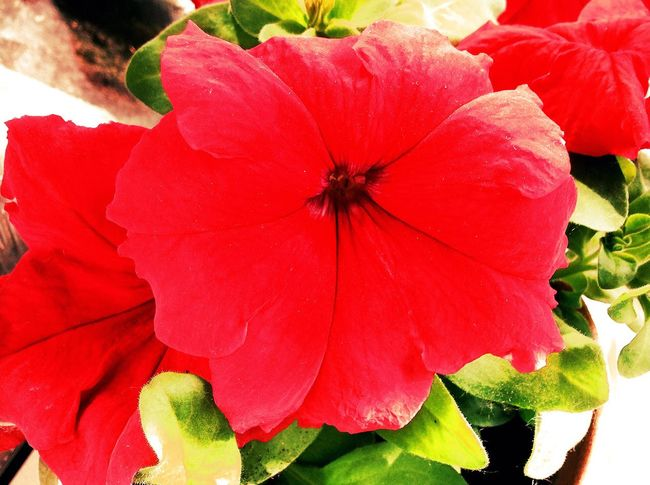 Flower Red Freshness Petal Close-up Flower Head Fragility Season  Growth In Bloom Beauty In Nature Springtime Vibrant Color Blossom Nature Botany Extreme Close-up Softness Bloom No People цветок  лето красивый цветы аромат