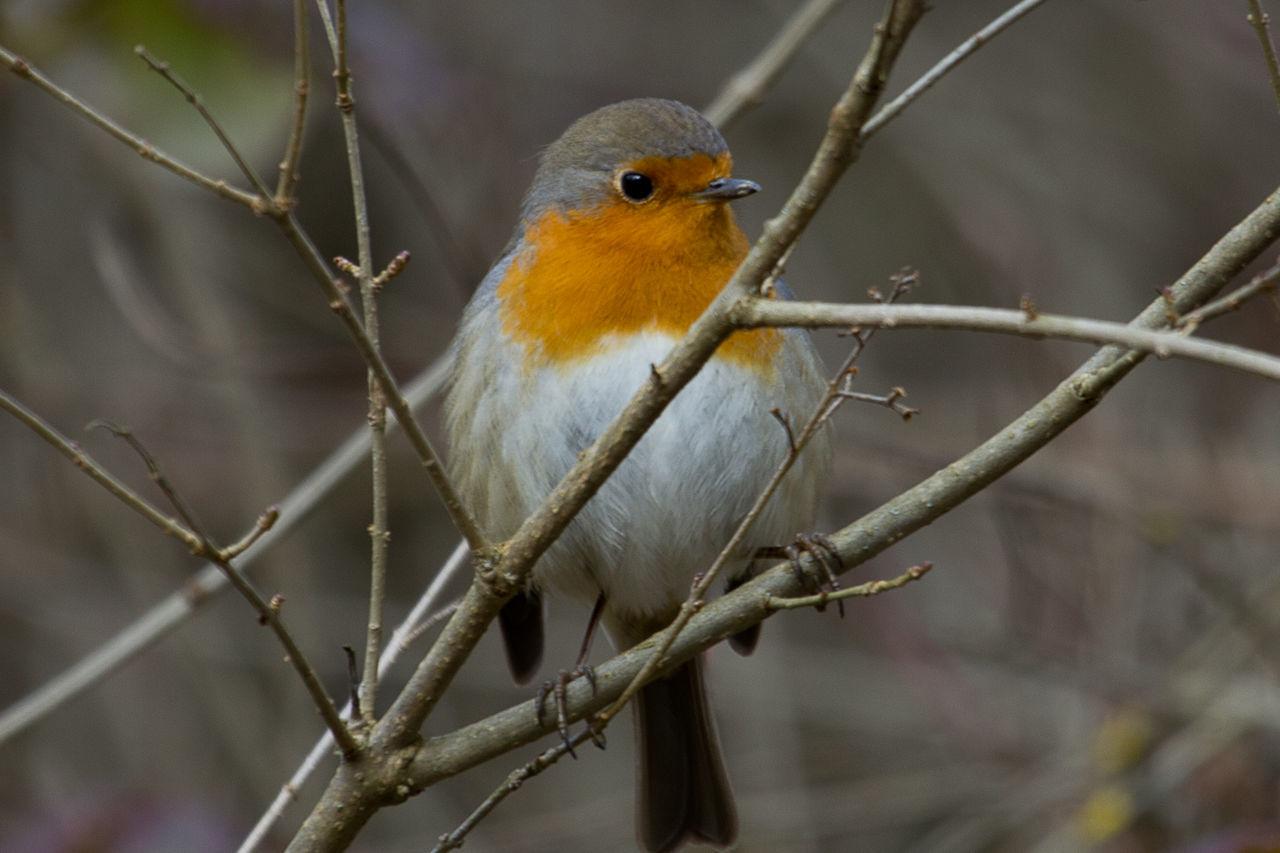 Bird Pettirosso