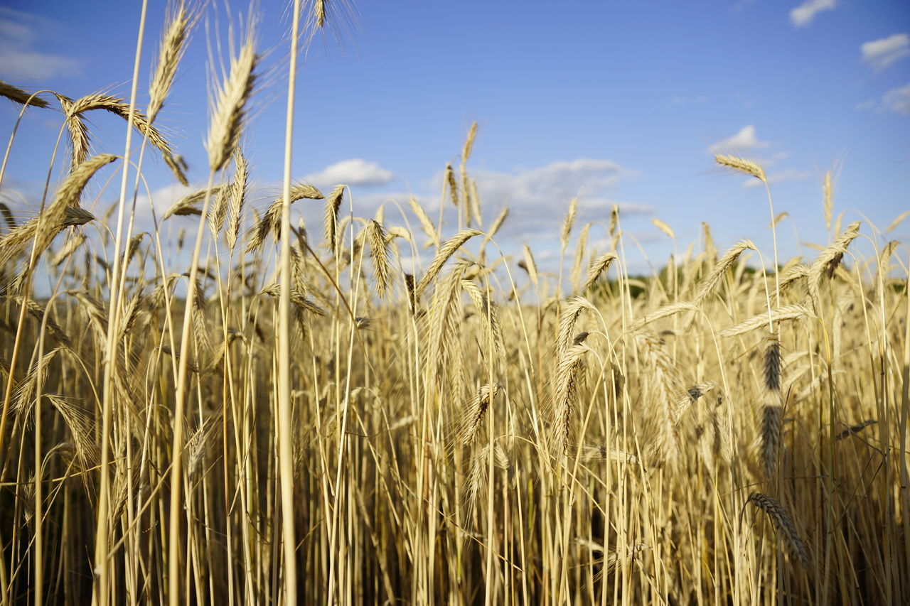 Agriculture Beauty In Nature Cereal Plant Close-up Crop  Day Ear Of Wheat Farm Field Growth Nature No People Outdoors Plant Rural Scene Sky Tranquility Wheat