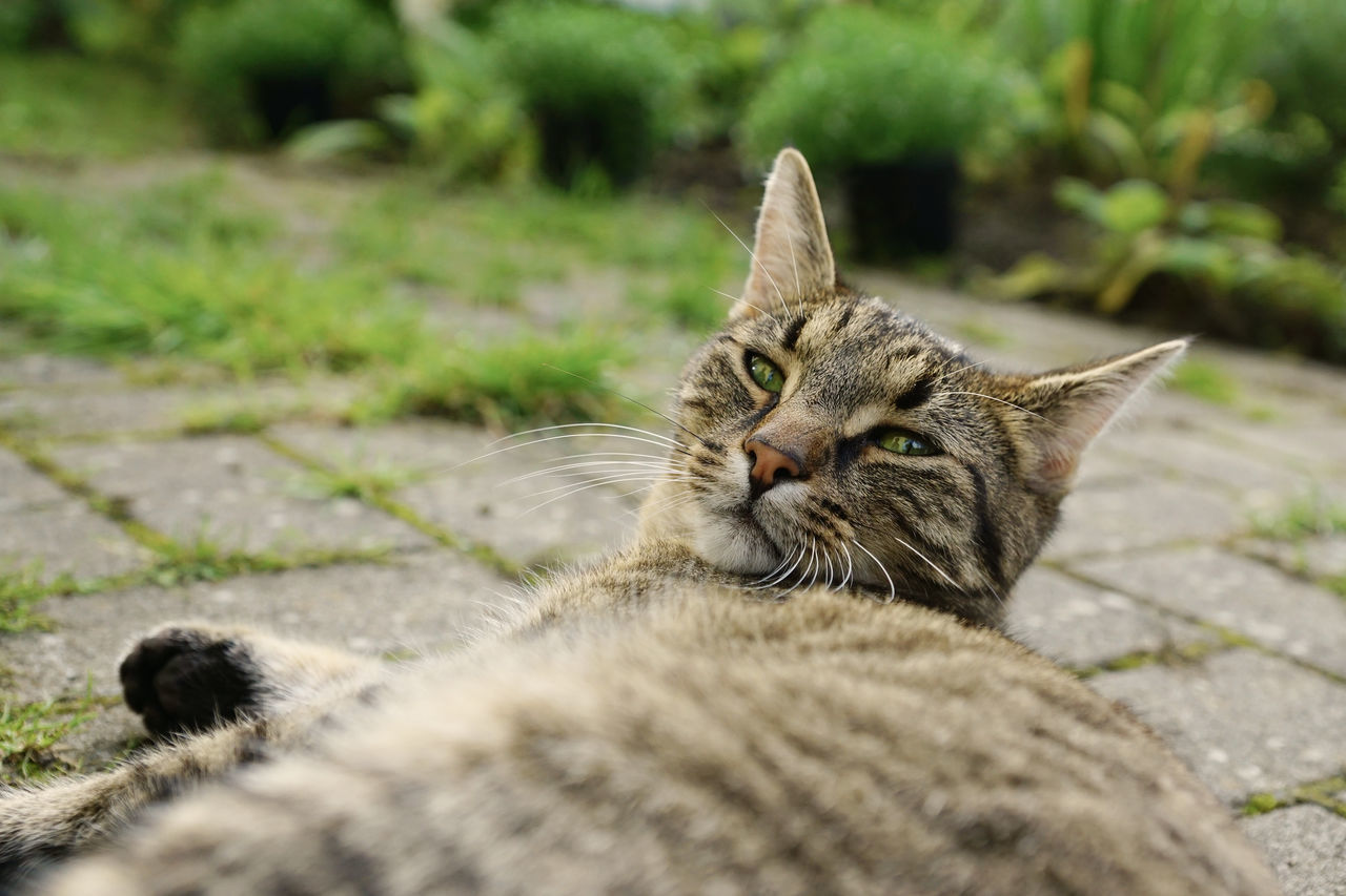 Lazy cat on the terrace Calm Relaxing Terrace Animal Themes Cat Close-up Day Domestic Animals Domestic Cat Feline Garden Lazy Lazy Day Looking At Camera Lying Down Mammal No People One Animal Outdoors Pets Portrait Sitting Summer Watching Whisker