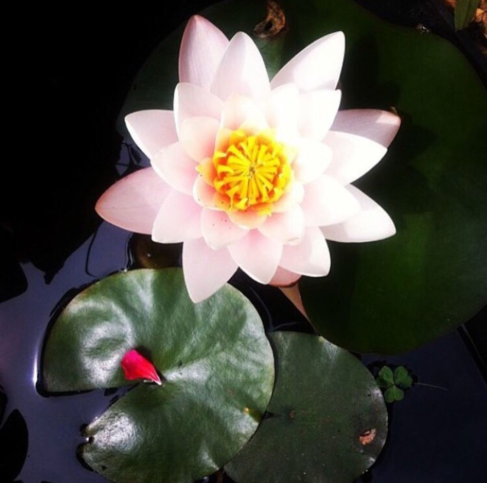 Waterlily Waterlilies Flower Petal Flower Head Beauty In Nature Lily Pad Lily Pads Lily Flower Lily Pond Pond Pond Life