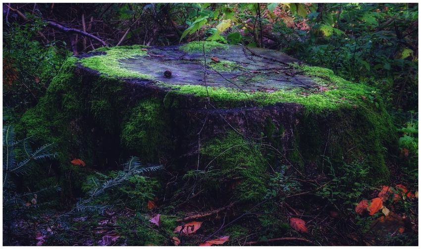 Tree Stump Nature Forest Outdoors Tree Beauty In Nature No People Nur_Du autumn