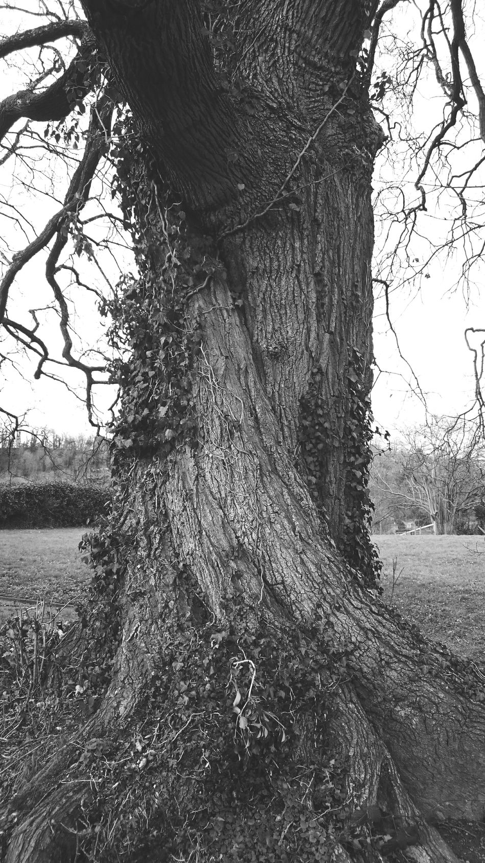 Twisted Dream Oak Twisted Tree Check This Out TreePorn For The Love Of Black And White Tree_collection  Twist Nature TwistedWood Oak Tree Old Oak Tree