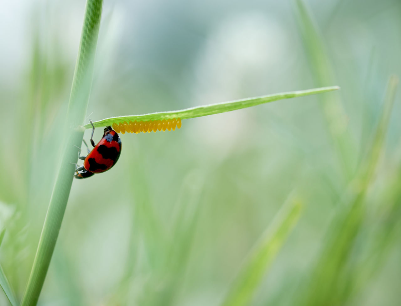 Animal Themes Animals In The Wild Beauty In Nature Close-up Day Eggs Focus On Foreground Insect Ladybug Nature No People One Animal Outdoors
