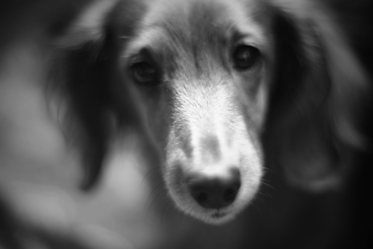 Capture The Moment Dog Eye Looking At Camera Portrait Domestic Animals One Animal Animal Themes Pets Animal Body Part Black And White Still Life Fine Art Depth Of Field Macro Animals Mammal Indoors  Full Frame Detail Oldlens Zeiss Pancolar EyeEm Best Shots 17_01 Pet Portraits