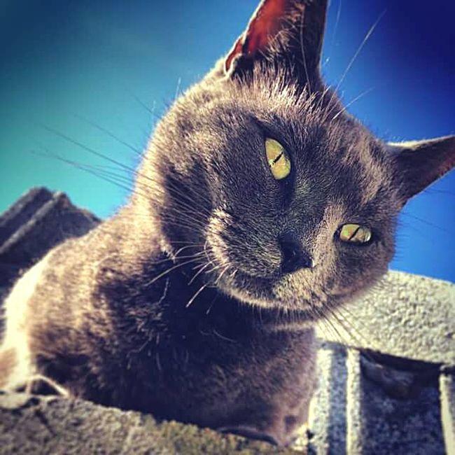 kee-keeee come-mere! Kee-keeee Cky Cat Piercing Eyes Blue Sky