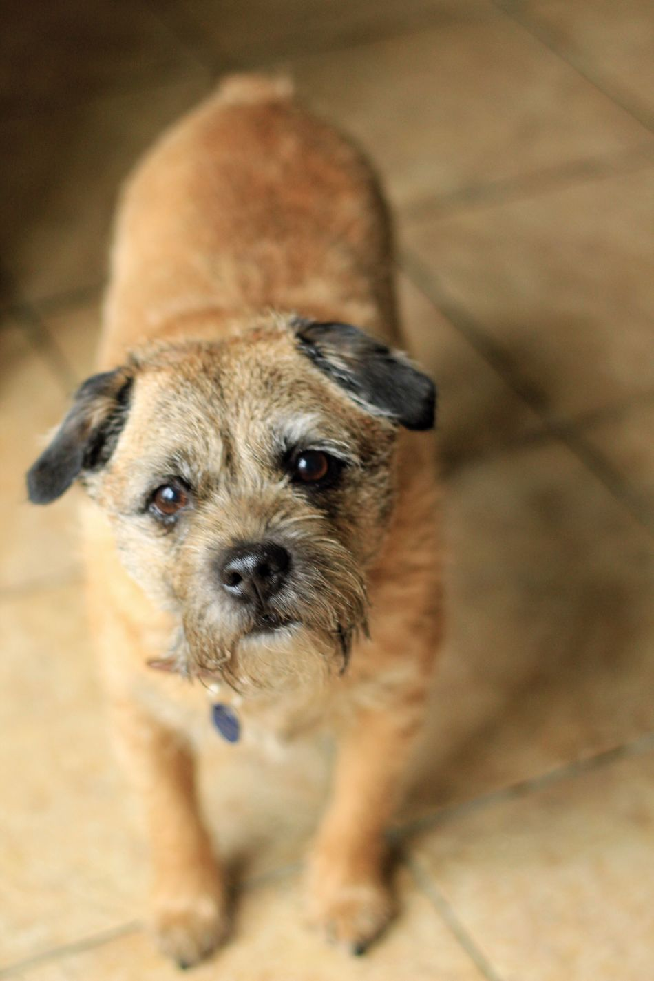 Dog Pets Domestic Animals Looking At Camera One Animal Animal Themes Mammal Portrait No People Indoors  Home Interior Close-up Day Shih Tzu Dog❤ Dogs Of EyeEm Terrier Dogs Boarder Leeds, UK Canon Indoors  Puppy Boarderterrier Dog Love