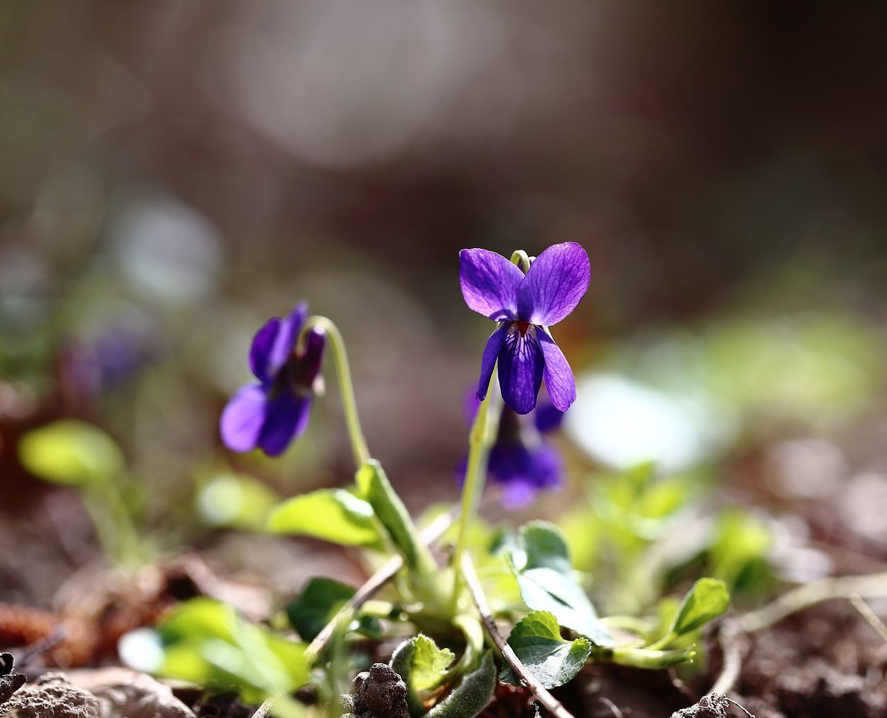 Viola odorata. Violet Violet Flowers Flowers Viola Odorata Flowerporn Nature's Diversities Flowers,Plants & Garden Wildflowers Forest Colors Integrity Modesty  Purity Beautiful Nature Beauty In Nature Nature On Your Doorstep Nature_collection Nature Photography Naturelovers EyeEm Nature Lover Spring Springtime Spring Flowers Showcase April Earth