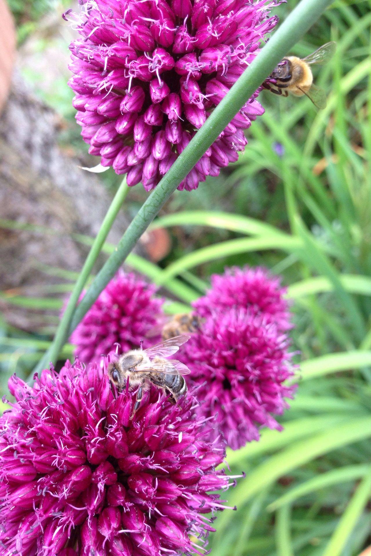 Kugellauch Lauch Zierlauch Garden Photography Garden Bees Bees And Flowers Bee Allium Flower Allium Sphaerocephalon Garten Pflanze Natur Bienen  Biene Bienen Bei Der Arbeit Wildbienen Wildbiene Wildbee