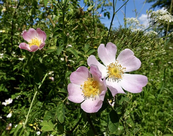 summer wild roses Beauty In Nature Blooming Blue Sky And Clouds Close-up Day Flower Flower Head Fragility Freshness Growth Leaf Nature No People Outdoors Petal Plant Summer Wild Rose