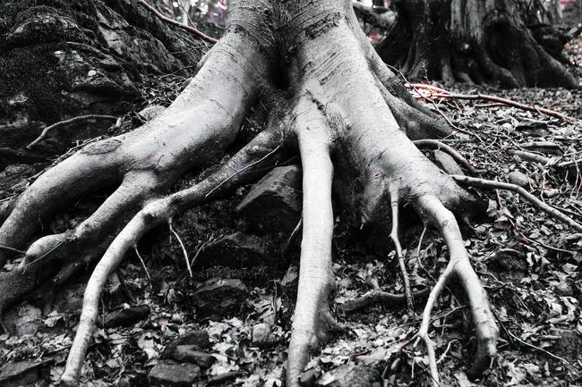 Monochrome wood Monochrome Photography Root Tree Tree Trunk Nature Close-up Growth WoodLand Spreading Branch Non-urban Scene Plant Soil Thorn Botany Overgrown Outdoors Tranquility Scenics Wilderness Remote Eye4photography  Open Edit EyeEm Best Shots Black And White Photography