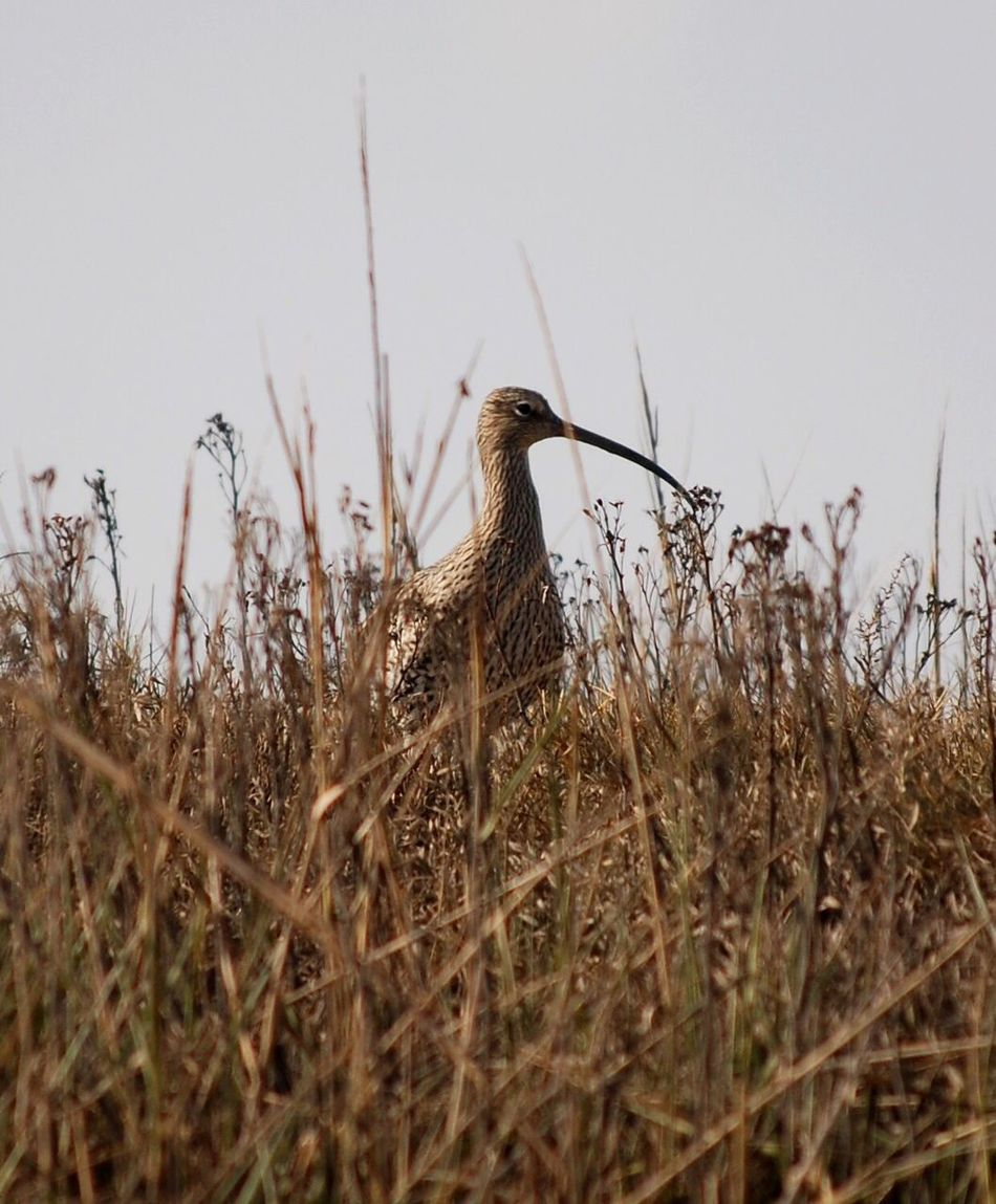 Curlew Animals In The Wild Animal Themes One Animal Bird Animal Wildlife Nature No People Outdoors Grass Day Perching Close-up Curlew Sea Birds Wading Bird