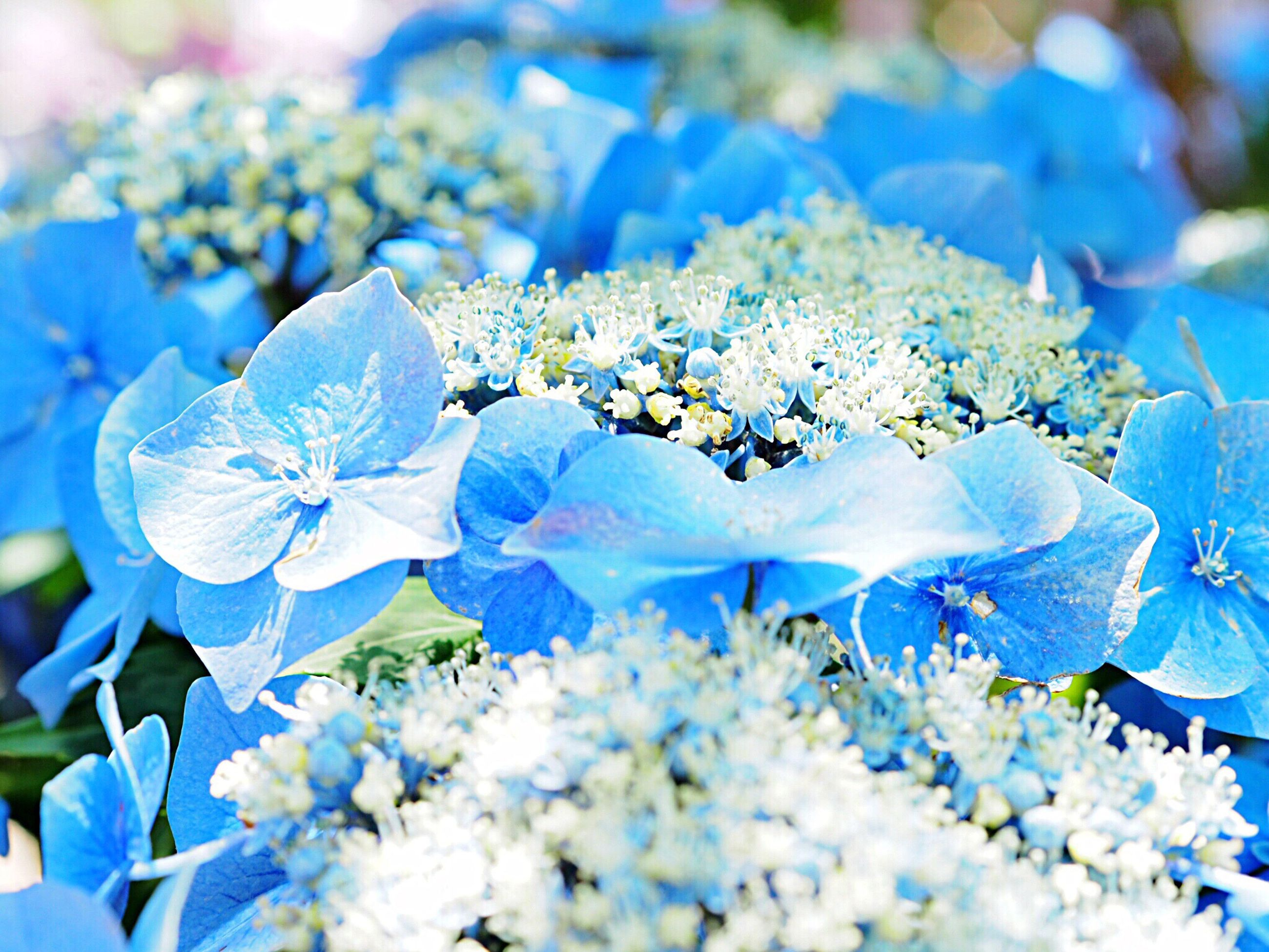 flower, blue, beauty in nature, nature, fragility, growth, petal, no people, hydrangea, blooming, outdoors, plant, close-up, day, freshness, flower head
