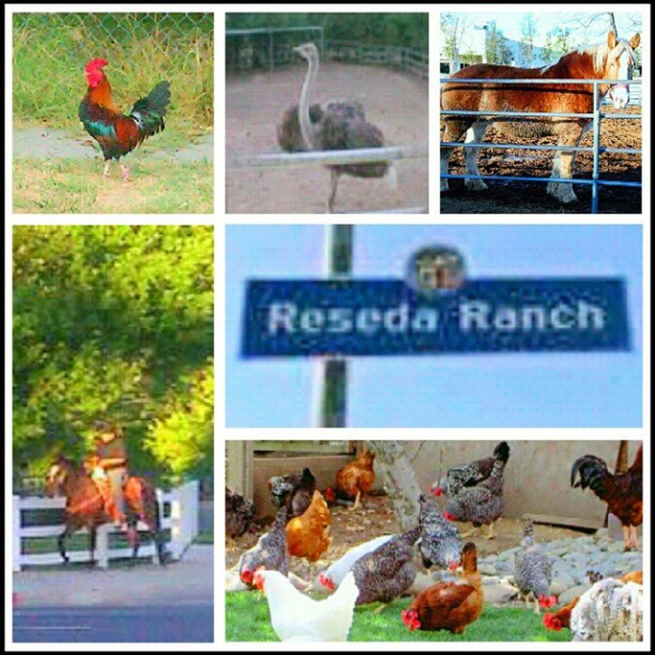 """My Neighborhood ! The stuff you see living in the """"Ranch """" part of Reseda ... Animals Horses Roosters Chickens Pets RandomStuff Home"""
