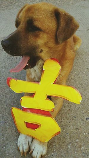 金狗大吉 Pets Dog One Animal High Angle View Yellow Mammal Animal Themes