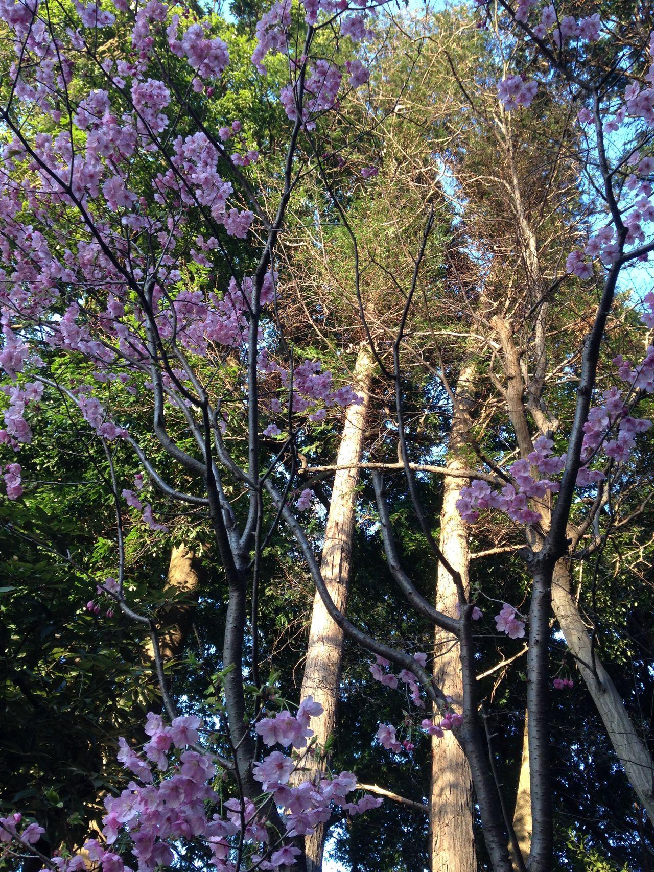 Yamazakura 🌸 at shrine Promenade Beautiful Photo Relaxing Hello World Shrine Sakura Spring Prom Flower