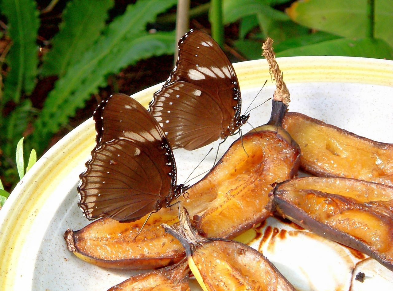 Banana Butterflies ~ Animal Themes Banana Butterflies Butterfly Butterfly Wings Close-up Day Feast Food Food And Drink Freshness Healthy Eating Indoors  Insect No People Plate Ready-to-eat Sliced Fruits Wings