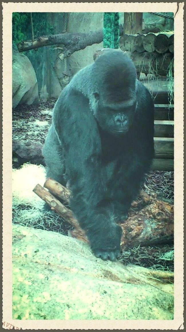 Zoo Zoo Animals  Animaux Gorille