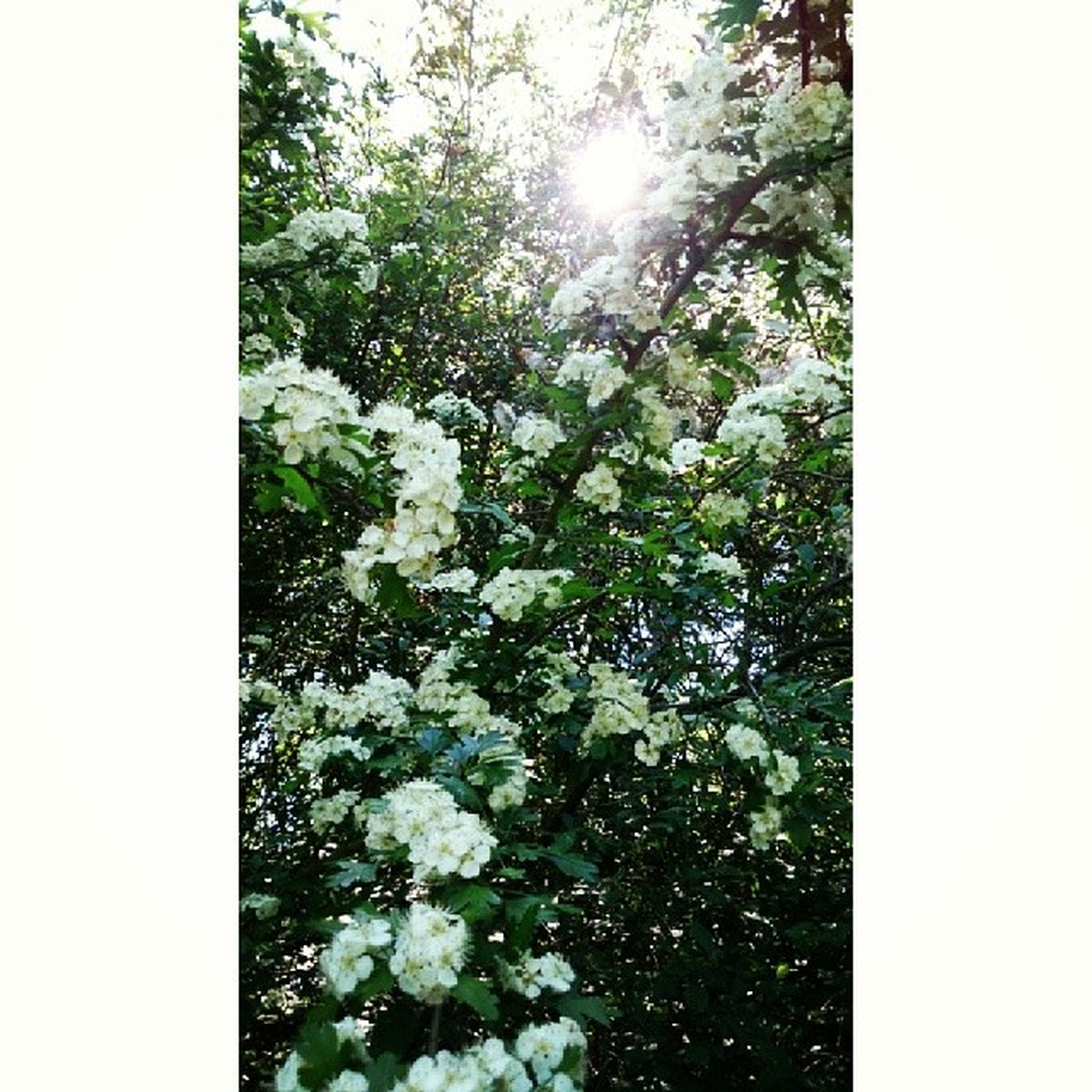 growth, beauty in nature, nature, transfer print, flower, freshness, tranquility, sunlight, tree, auto post production filter, plant, fragility, white color, sun, tranquil scene, leaf, day, no people, scenics, outdoors