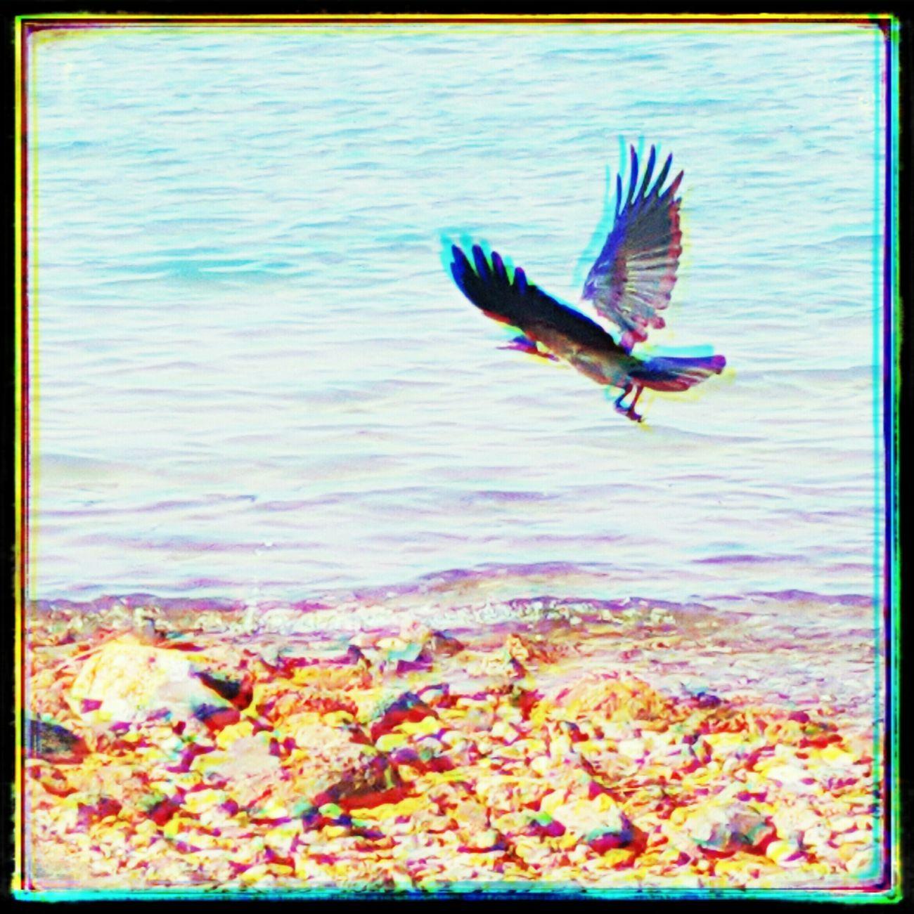 The crow 😉 Bird Birds🐦⛅ Flying Bird Flying Overseas Sea Beach Turquoise Water