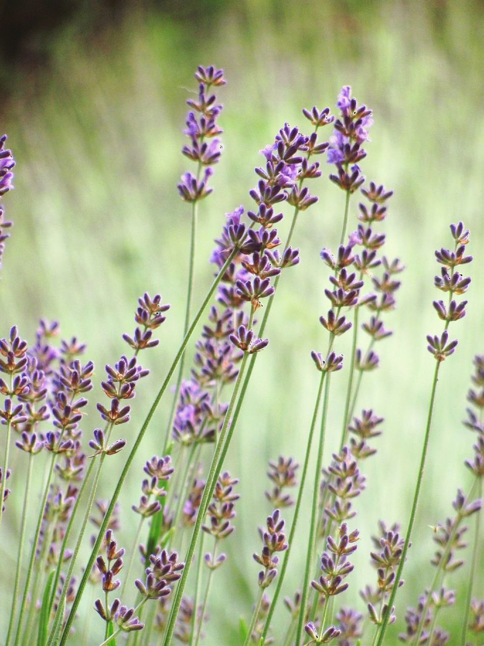 Lavender Lavenderflower Lavender Farm Lavender Field Lavender Color Petals🌸 Lavender Blossoms Lavendergarden Lavenderfarm Purple Purple Flowers Purple Color Purple And Green GrassNature Outdoors Plants 🌱 Plants And Flowers