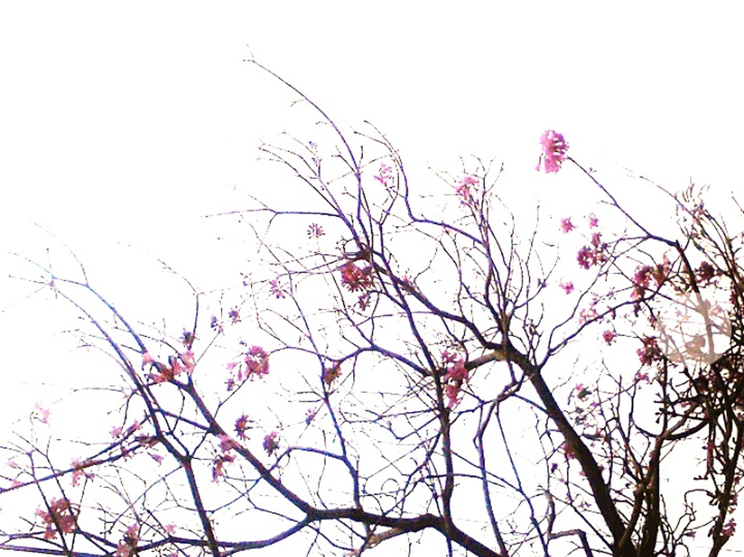 low angle view, flower, clear sky, branch, tree, growth, beauty in nature, pink color, nature, freshness, fragility, sky, high section, day, blossom, outdoors, blooming, no people, copy space, twig