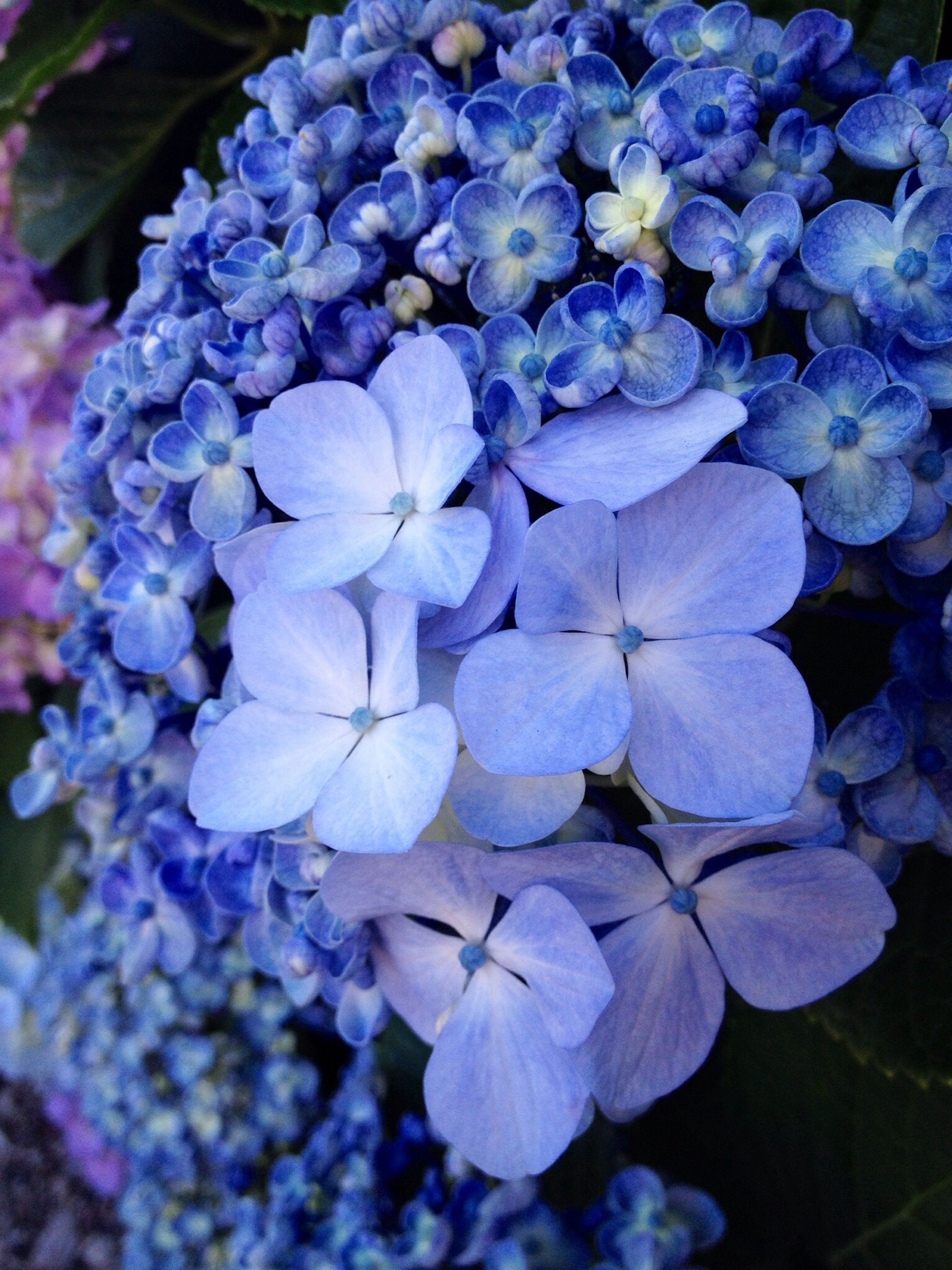 flower, freshness, purple, fragility, growth, beauty in nature, petal, flower head, blue, nature, close-up, plant, hydrangea, blooming, in bloom, focus on foreground, park - man made space, botany, high angle view, outdoors