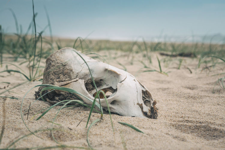 Moody vibes in Cabo Polonio. Cabo Polonio Discovering Grass Latin America Moody Sky Sea Lion Travel Animal Bone Animal Skull Animal Themes Bone  Close-up Day Explore Grass Gray Mammal Nature No People Outdoors Sand Scary Sealion  South America Travel Destinations