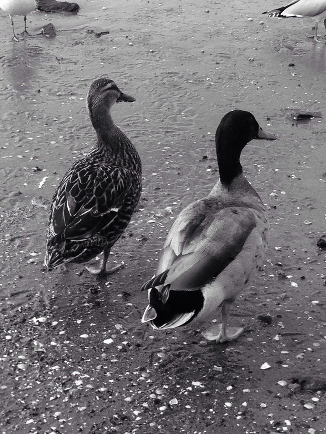 Animals 2 Ducks Blackandwhite Blackandwhite Photography Beach Photography Sand & Sea Coastline Off The Beaten Path Two Is Better Than One