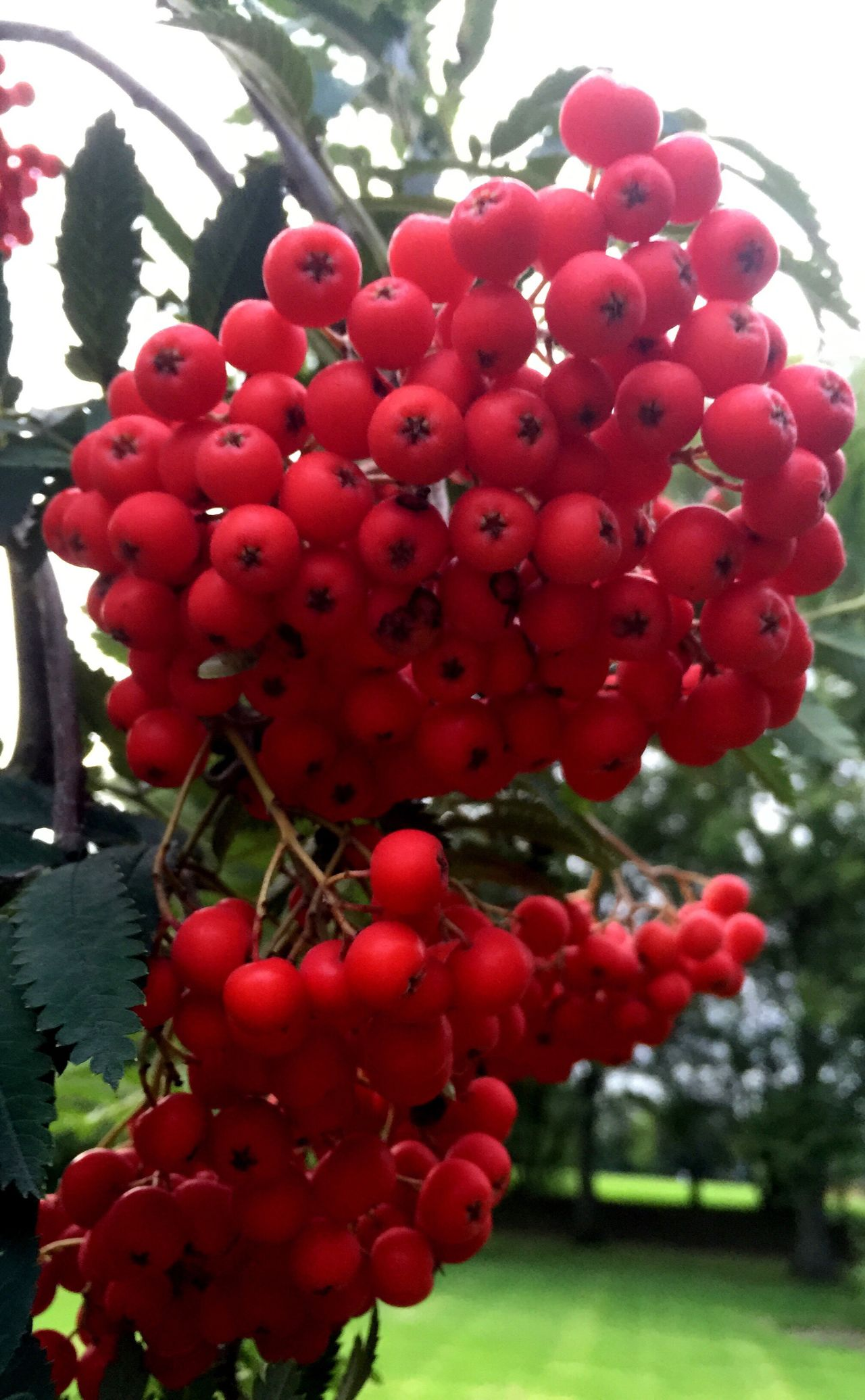 Red Fruit like Berries Abundance Bunch Nature Focus On Foreground Vibrant Color IPhoneography Iphonephotography